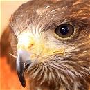 Robbie Harris Hawk