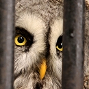 Shaggy Great Grey Owl