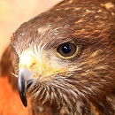 Sky Harris Hawk