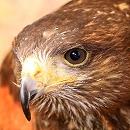 Sky Harris Hawk