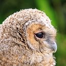 Rescued Tawny Owlet
