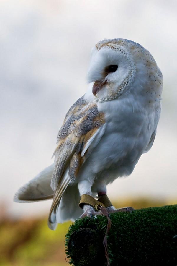 Lil Barn Owl