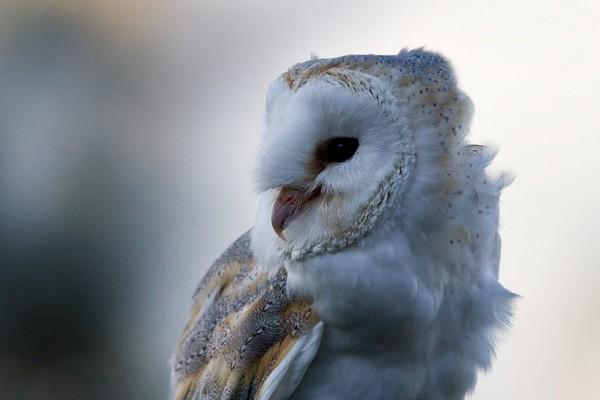 Lilo Barn Owl