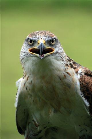 Buster - Ferruginous Hawk