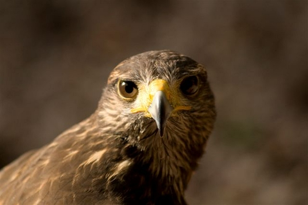 Charlie The Red Tailed Hawk, photographed by Michael Heald