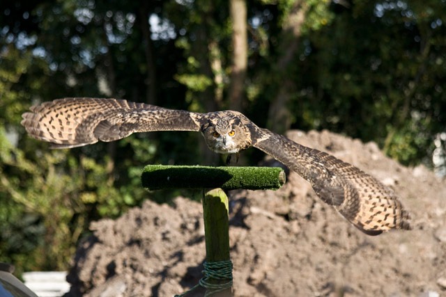 Checkers Eagle Owl