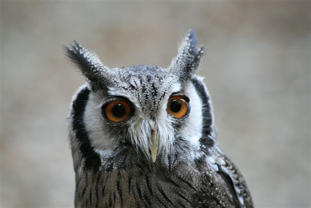Gizmo - White Faced Scops Owl