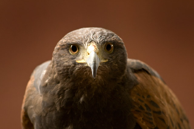 Sky - Harris Hawk