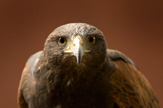 Sky - Harris Hawk