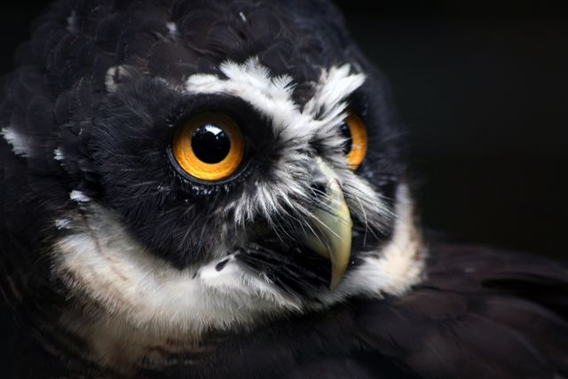 Harry - Spectacled Owl