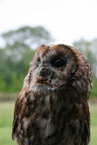 Knowley - Tawny Owl