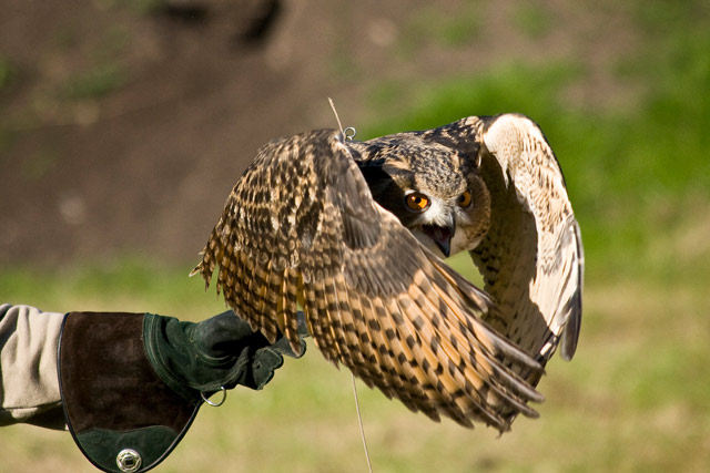 Checkers - Eagle Owl