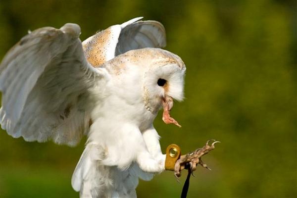 Lilo The Barn Owl in flight