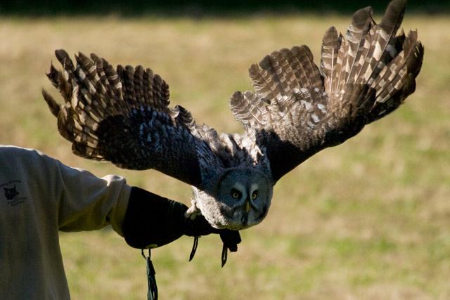 Takeoff - Shaggy Great Gray Owl