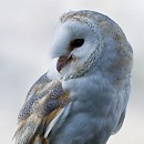 Barn Owl - Lilo