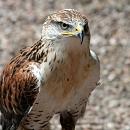 Buster - Ferruginous Hawk