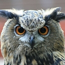 Checkers - Eurasian Eagle Owl