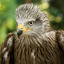 Diamond the Black Kite