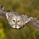 Great Grey Owl Shaggy