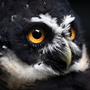 Harry - The spectacled Owl