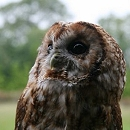 Knowley - Tawny Owl