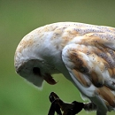 Lilo - Barn Owl