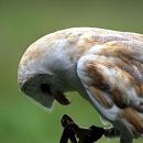 Lilo - Barn Owl