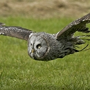 Shaggy - Great Gray Owl