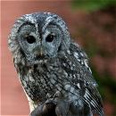 Vic - Tawny Owl
