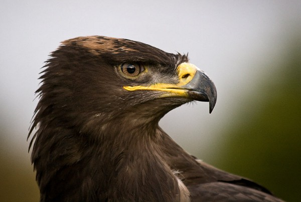 Hawk Close Up