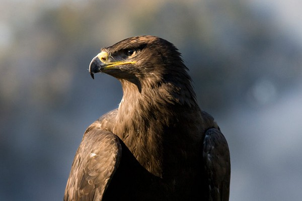 Albert Steppe Eagle
