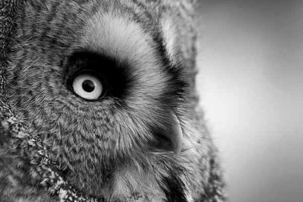 Owl Close up