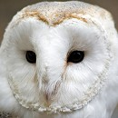 Barney - The Rescue Barn Owl