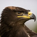 Albert - Steppe Eagle
