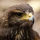 Nanuk - Harris Hawk