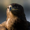 Steppe Eagle - Albert
