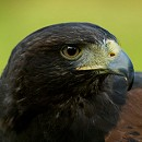 Skye - Female Harris Hawk
