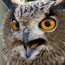 Checkers - European Eagle Owl