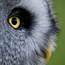 Shaggy - Great Grey Owl