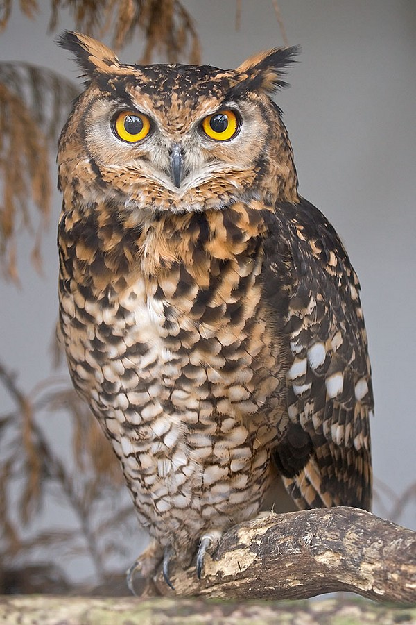 Eagle Owl