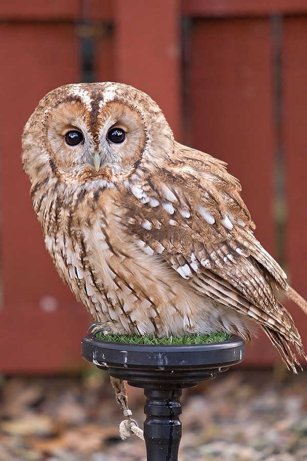 Knowley The Tawny Owl