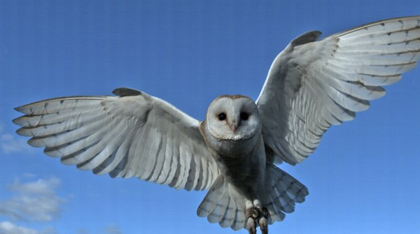 Bo Female Barn Owl