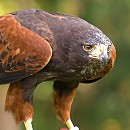Harris Hawk