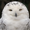 Oink - Snowy Owl
