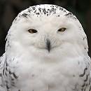 Oink - Snowy Owl