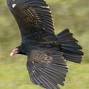 Bernie Turkey Vulture