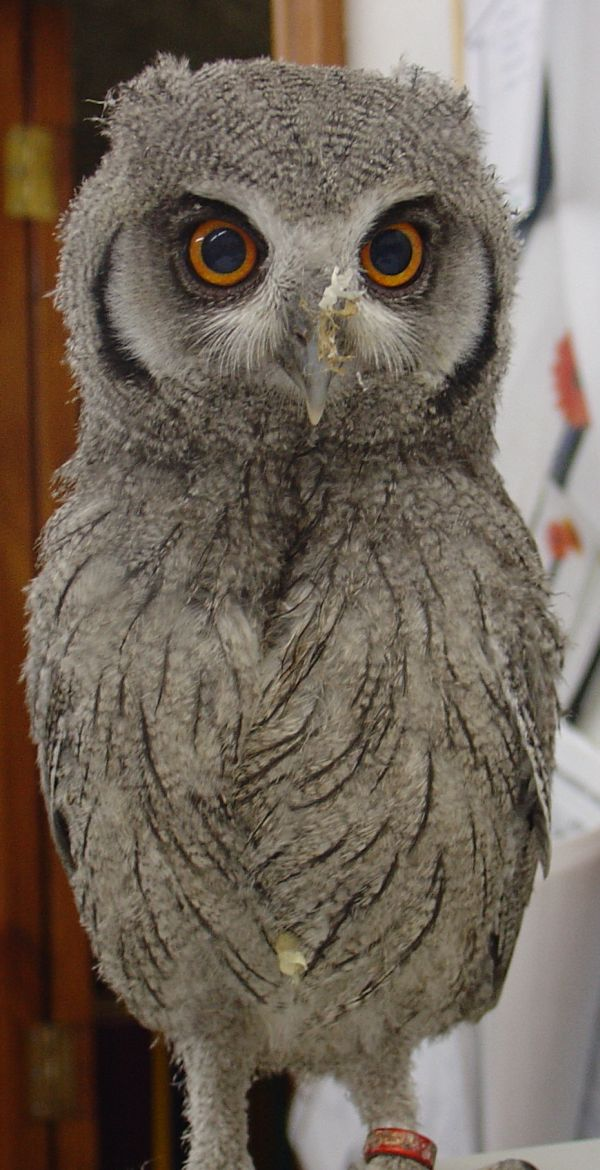 White Faced Scoops Owl