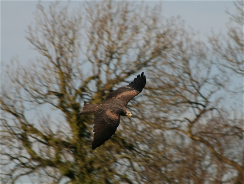 Diamond - A Black Kite