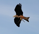 Diamond - Black Kite