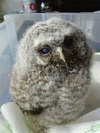 Vic Tawny Owl
